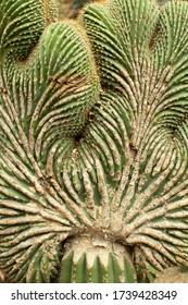 Détail rapproché d'une crête mutée qui pousse sur le tronc d'un cactus