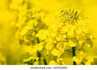 Close up detail of an oilseed rape flower