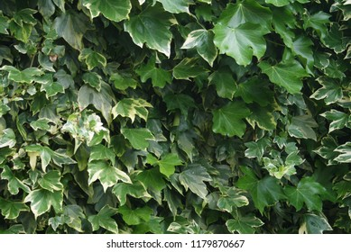 Close up detail of poison ivy plant growing, Toxicodendron radicans