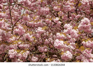 close up detail shot of tree blossom on a cherry tree
