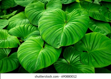 Close up detail tropical nature green leaf texture background, green leaf in the garden, green concept, Tropical forest, modern creative background, green leaf caladium.
