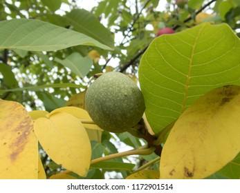 close detail of a wallnut on a tree