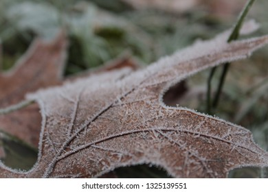 Close Up Detail of White Frost Covered Red Oak Leaf on Green Gra