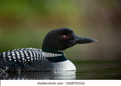 A close and detailed portrait of a Common Loon captured in soft light with a smooth green and brown background.