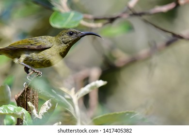 Close up of a detailed profile of an Eastern Olive Sunbird perched on a branch surrounded by leaves.  Photographed in South Africa.