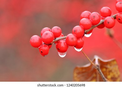 Close, detailed view of water droplets hanging on red Holly berries during the autumn season.