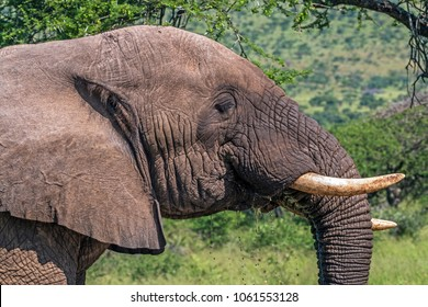 Close up details of head face tusks Ears and trunk of African Elephant drinking water in Imfolozi-Hluhluwe Game Reserve in Zululand, KwaZulu Natal South Africa