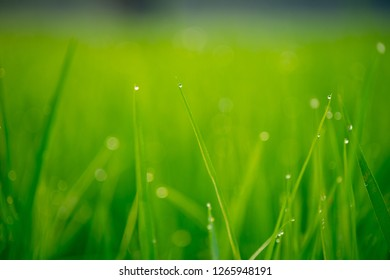 Close up of dew drops on the green rice.Beautiful dew drop on young green rice leaf in the morning.Green cornfield in the morning sun.