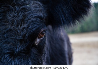 close up of Dexter Cow