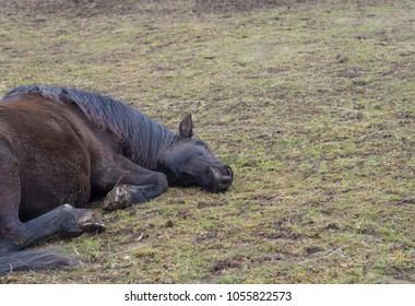 close up dirty ginger brown horse lying on mug green grass meadow, sad or ill look, selective focus on head