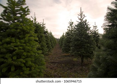 Close and Distant View of Row of Douglas Fir Christmas Tree Farm, Spring, Rich Soil, Clouded Pale Blue Sky Peeking Through, Daytime - Willamette Valley, Oregon