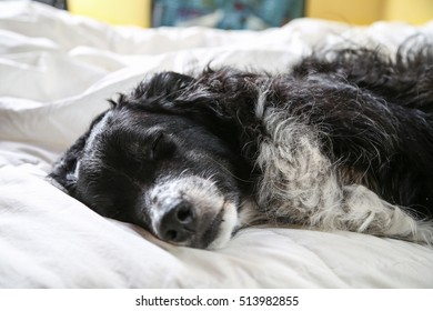 close up of dog asleep on a bed with his head resting on white linens