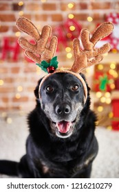 Close up of dog with reindeer's antlers