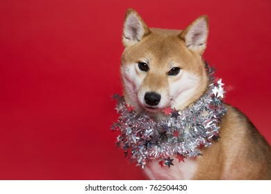 close up of a dog with silver decoration on red plain background