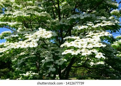 Close up dogwood tree blossoms