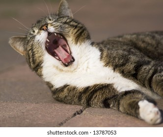 Close up of a domestic cat yawning with mouth wide open.
