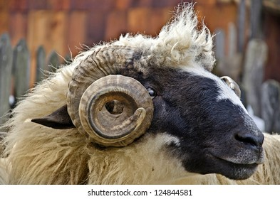 close up of a domestic ram head