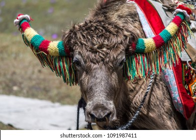 A close up of a domesticated Yak decorated with wool for Ride at Changu, Tsomgo Lake, Sikkim, India