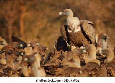 Close up dominant Griffon Vulture Gyps fulvus sitting on the back of the other vultures and controling situation. Distant autumn colorful Pyrenees forest as a background.