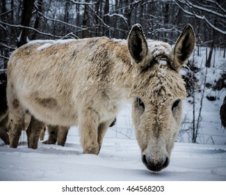 Close up donkey in snow storm