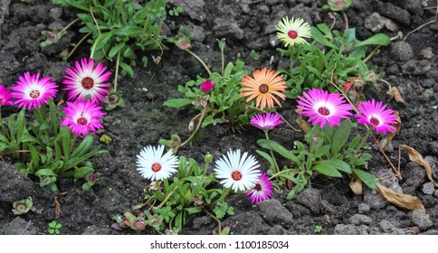 close up of Dorotheanthus bellidiformis, commonly called Livingstone daisy or Bokbaaivygie, blooming in spring