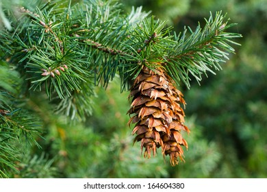 Close up of a douglas fir (Pseudotsuga menziesii) branch with cones