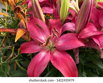 Close up downward shot of bright pink Asiatic lily flowers