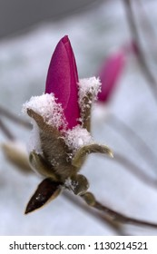 Close up of downy, vividly pink flower buds that are tightly furled and covered in snow in early spring