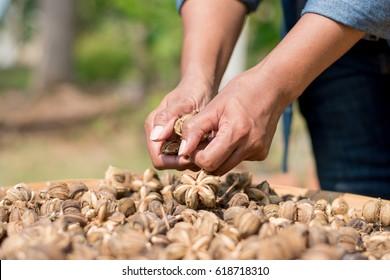 Close up of dried Sacha inchi peanut seeds