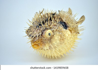 Close up dried thorny puffer fish object on the white background.
