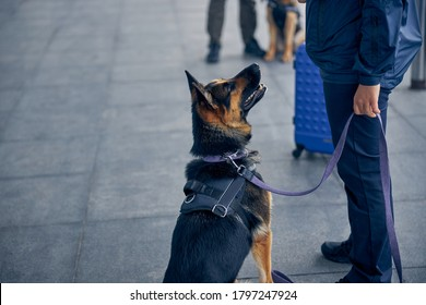 Close up of drug detection dog looking at male inspector in airport