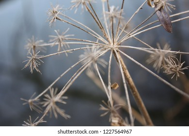 Close up of dry Allium Flower with a grey / blue background, cold atmosphere, autumn, winter.