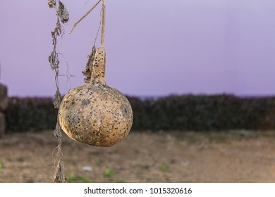 Close up dry calabash and leaves