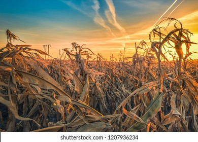 Close up dry corn field against the sun