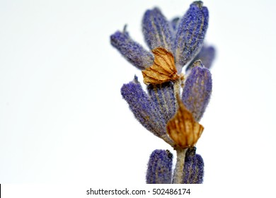 Close up Dry lavender flowers on white  background