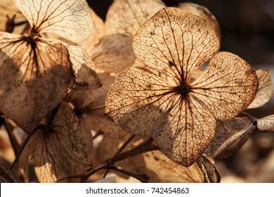 Close up of dry white hydrangea blossoms in winter. Winter sun backlight. Selective focus. Shallow depth of field.