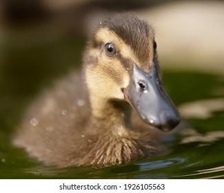 Close up of a duckling mallard Indian runner duck mixed breed