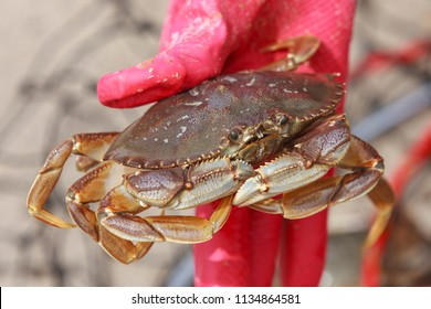 A close up of a dungeness crab, Metacarcinus magister, being held by a gloved hand in Seaside, Oregon.