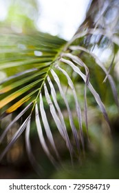 Close up of a dying  tropical palm tree frond.