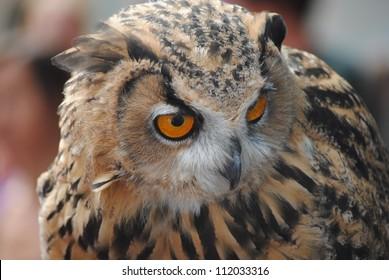 Close up of Eagle Owl (Bubo bubo)