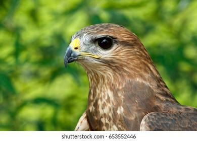 Close up of a Eagle's head shot.