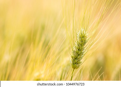 Close up ears of wheat, Barley field background