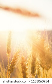 Close up of Ears of wheat at the wheat farm, shallow depth of field.
