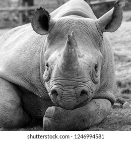 Close up of East African black rhinoceros looking straight to camera. Photographed in monochrome at Port Lympne Safari Park near Ashford Kent UK.