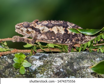 Close up of an Eastern Cape Dwarf Chameleon (Bradypodion ventrale)  on a Portulacaria afra plant, also known as Elephant's foot. South Africa