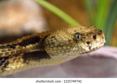 Close up of an eastern timber rattlesnake who sees you and appears both wary and threatening as it glares at the viewer