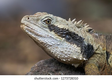 Close up of Eastern Water Dragon Lizzard resting on a rock in Australia