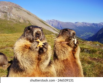 close up of eating marmot in nature