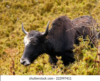 Close up of an eating yak in the himalayas in Bhutan
