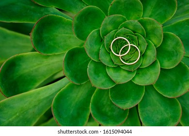 Close up of Echeveria Lilacina and Wedding Rings